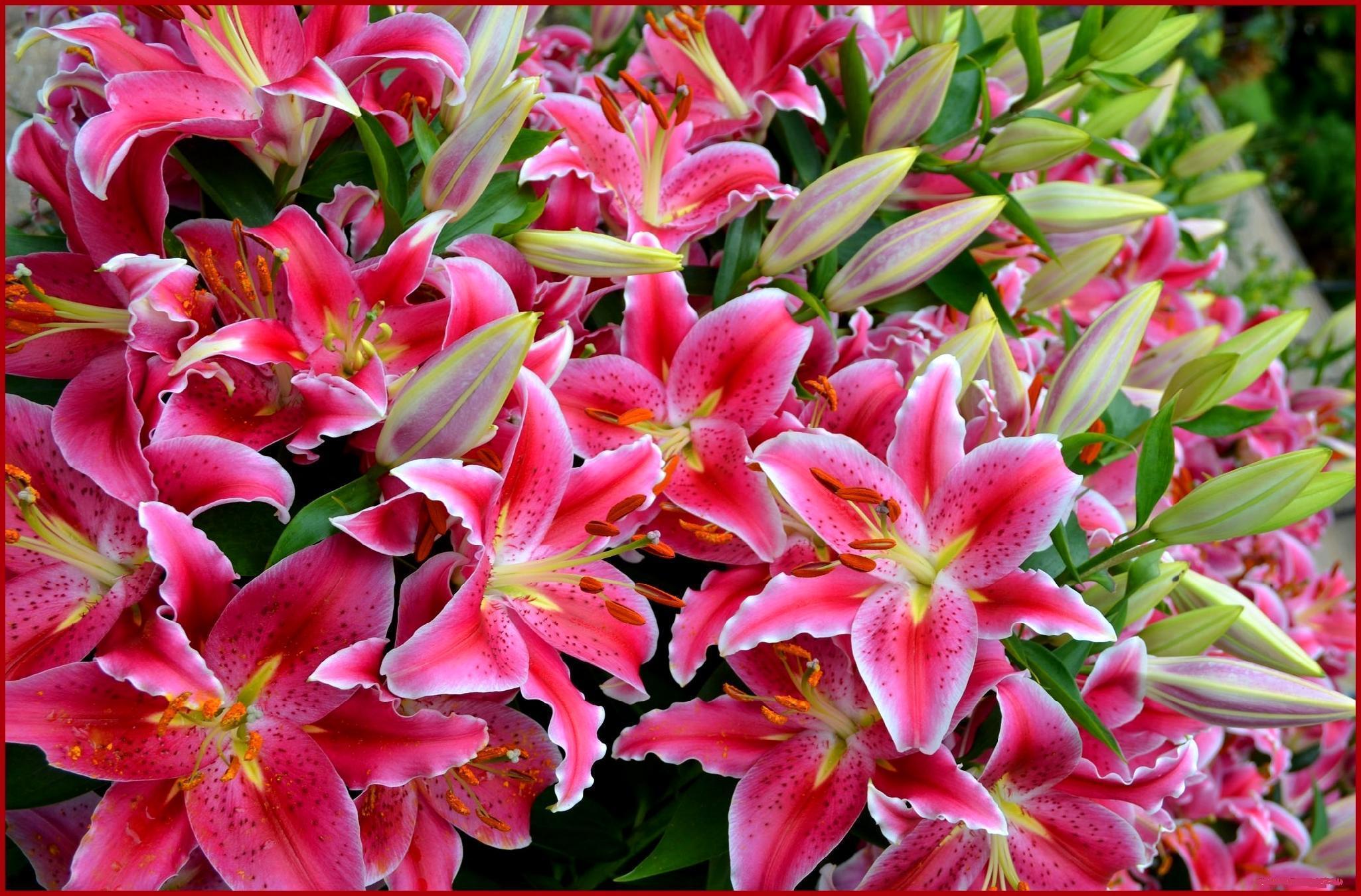 Фото цветов лилии розовые