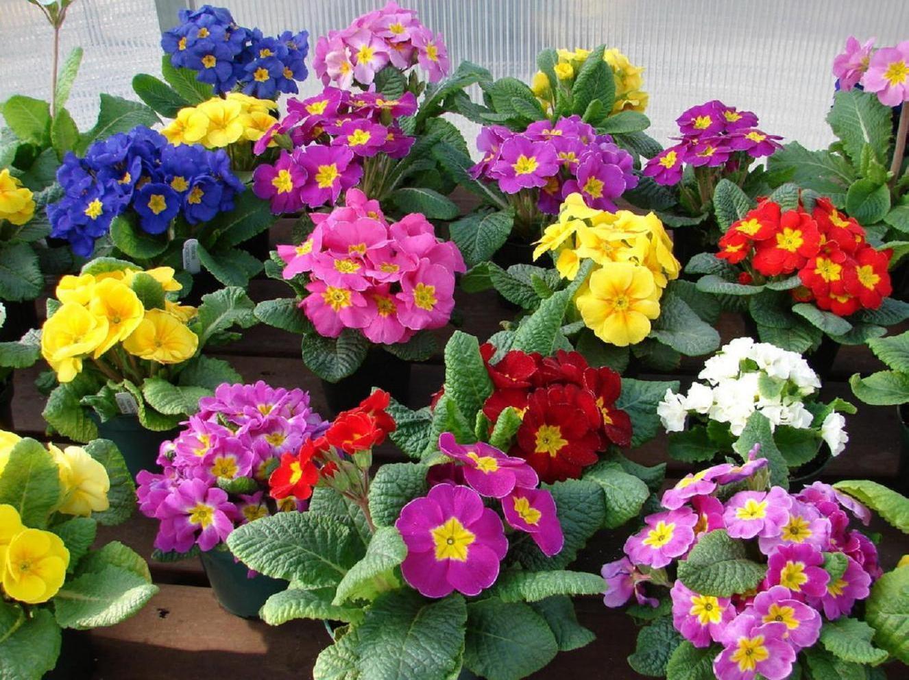 Примула выращивание в домашних условиях фото